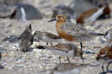 Red knots feasting on horseshoe crab eggs