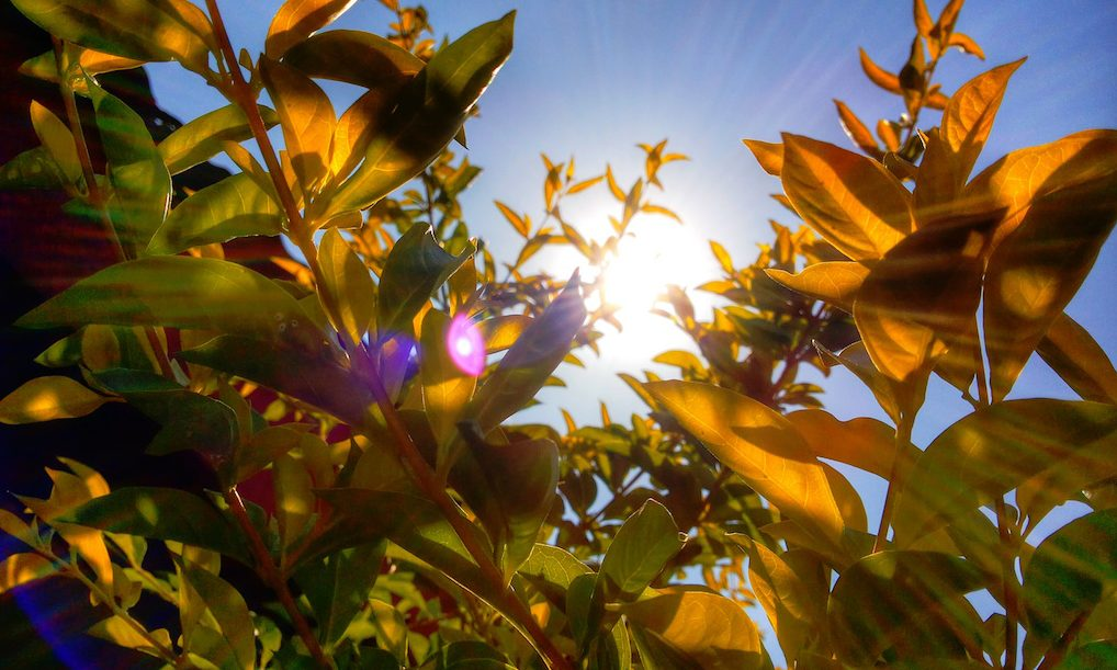 Scientists can engineer plants to use sunlight more efficiently