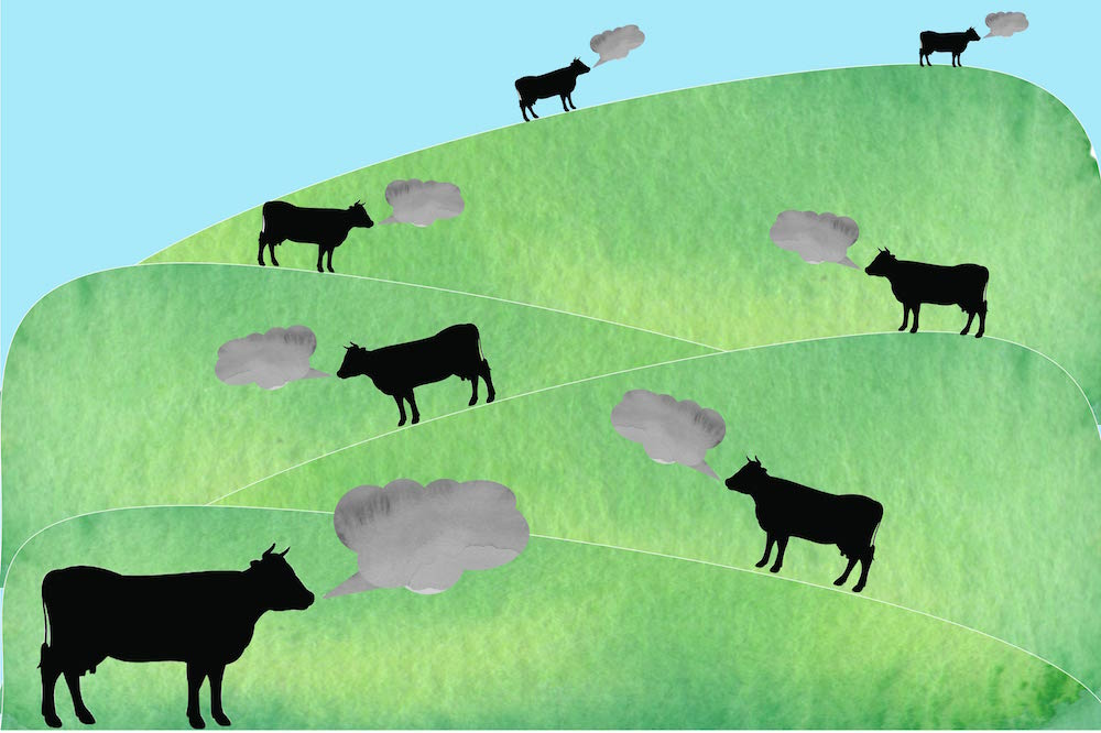 Cow burps filled with methane