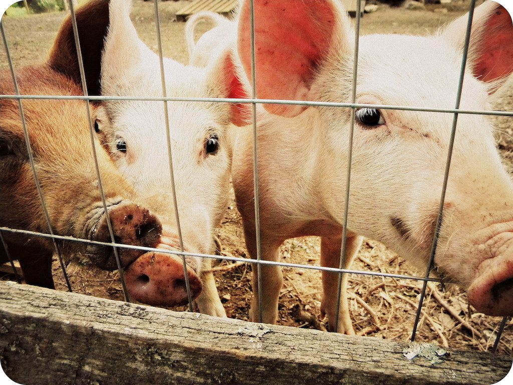 New research on connection between hog workers and antibiotic-resistant staph infections