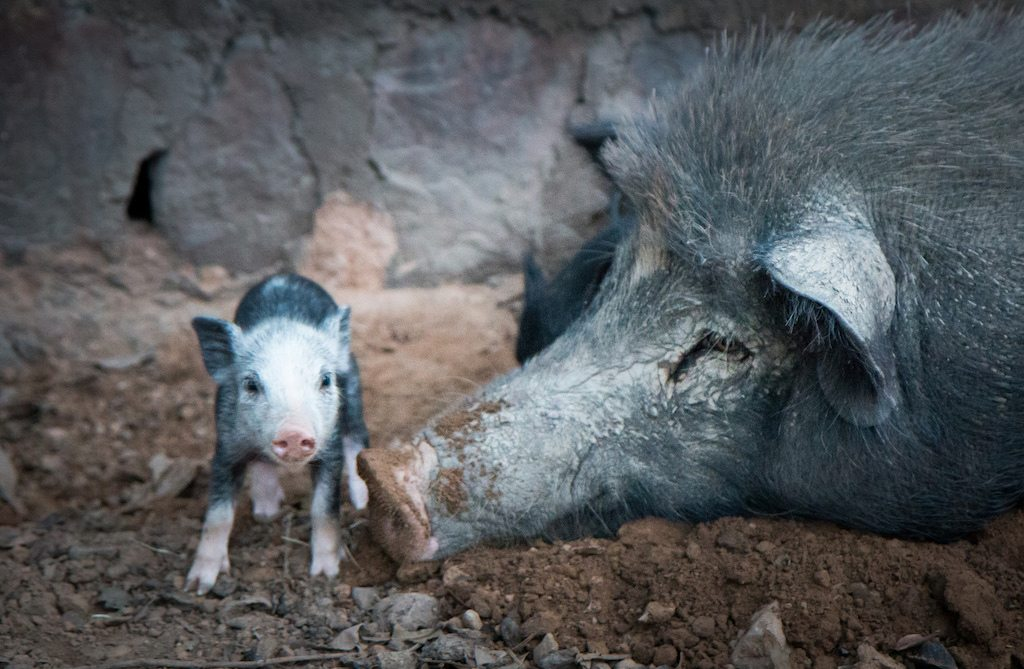The wild boar market is at a crossroads