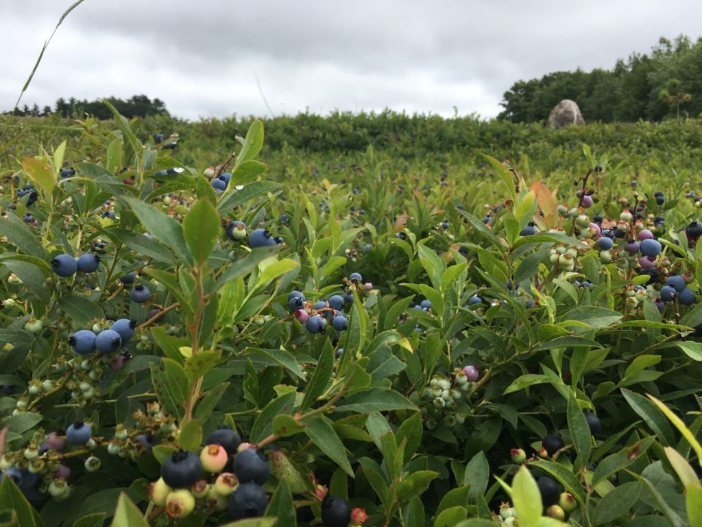 Wild blueberries Maine