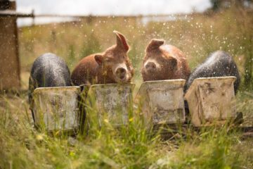 Feeding pigs herbs as an alternative to antibiotics