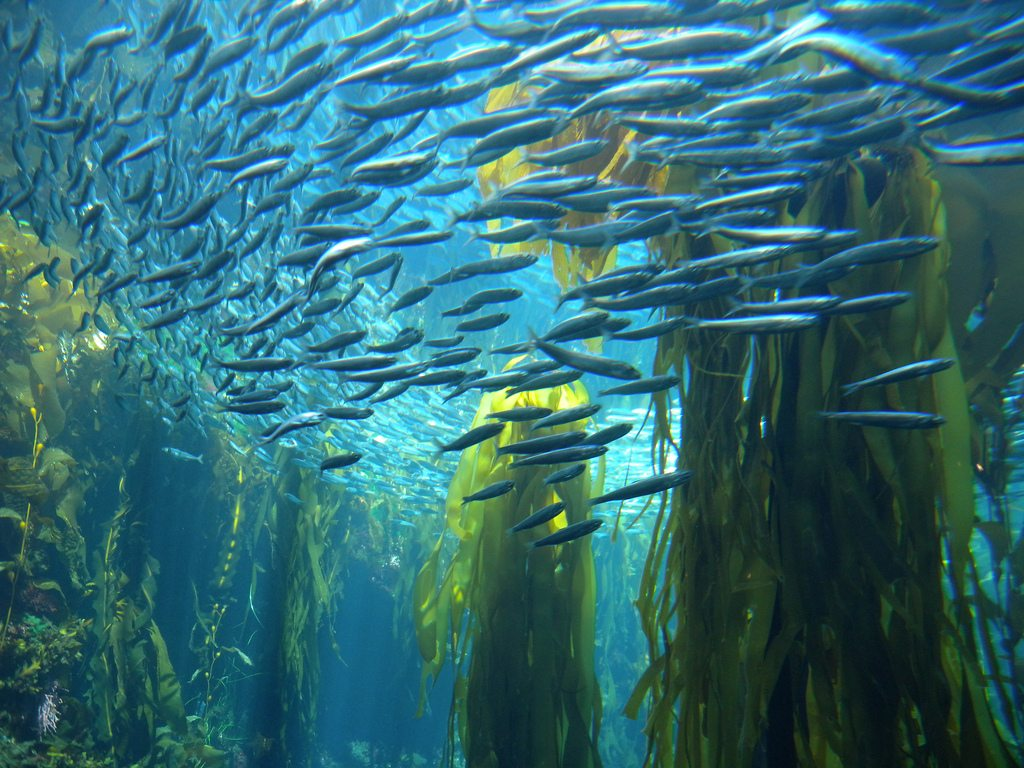 Kelp forests are affected by ocean acidification