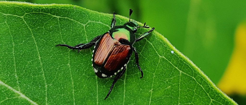 Japanese beetle invasive species