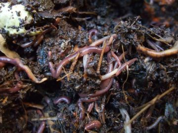 earthworms in the compost bin