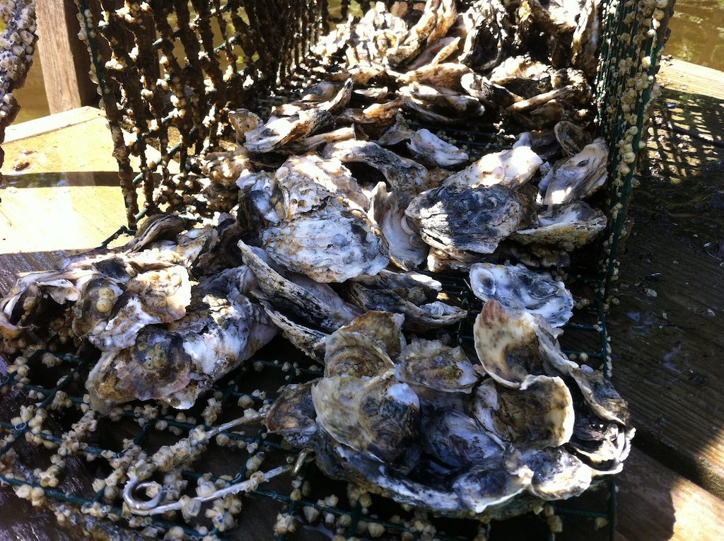 pacific oysters are vulnerable to a herpes virus
