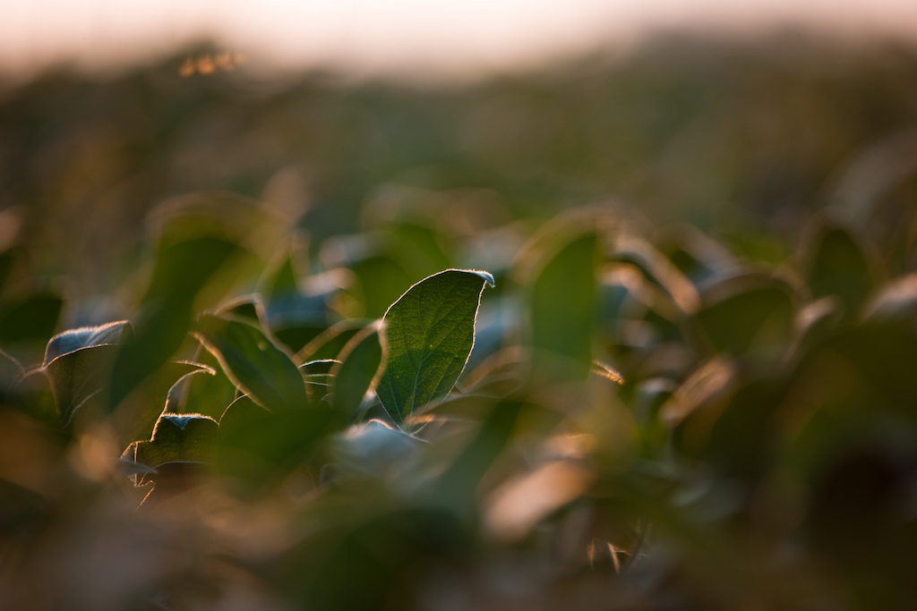 Soybean plants have shown damage from dicamba