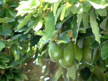 avocados on a tree