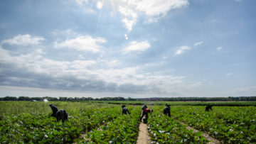 Farmworkers pick produce on the field