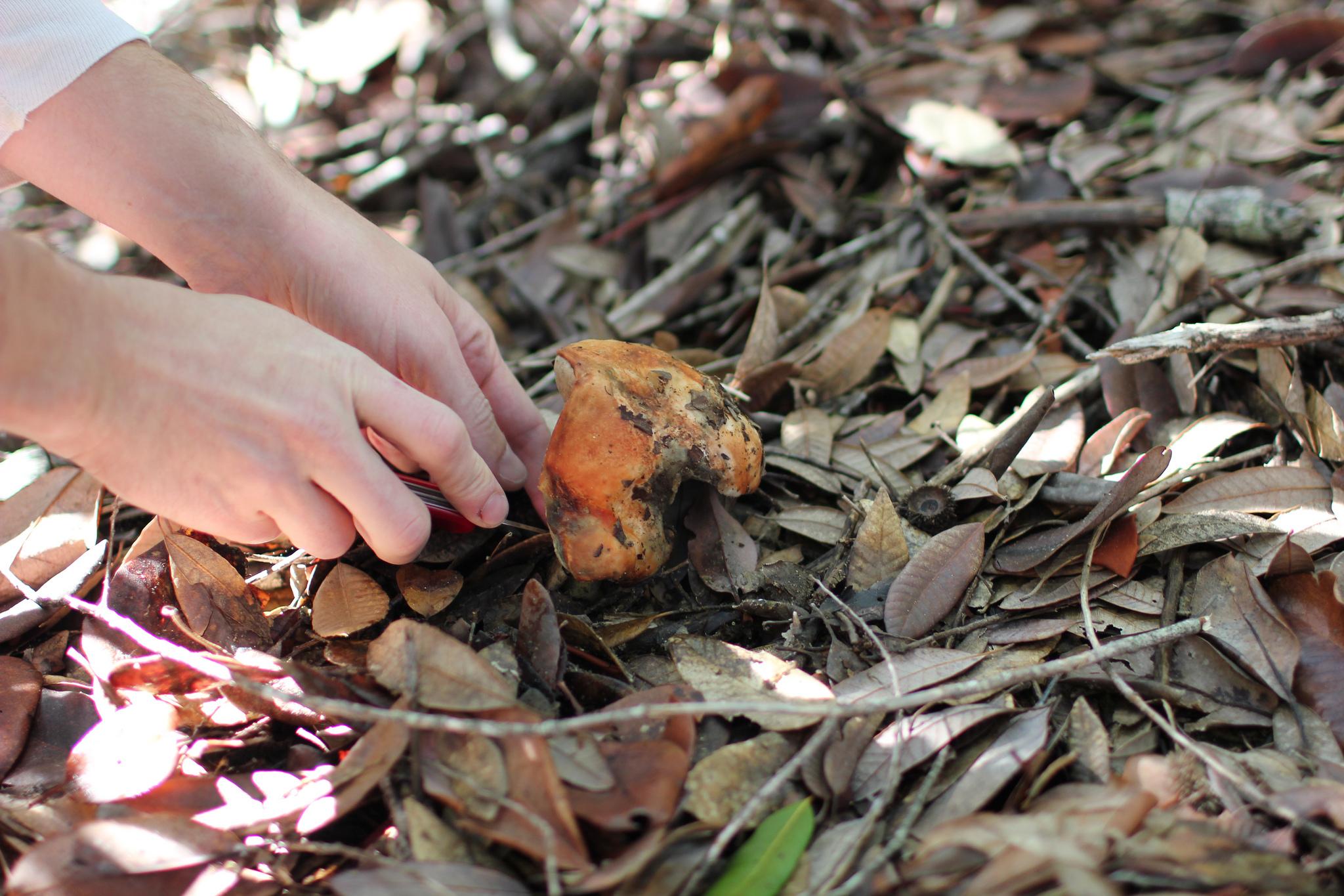 hands forage for a porcini mushroom
