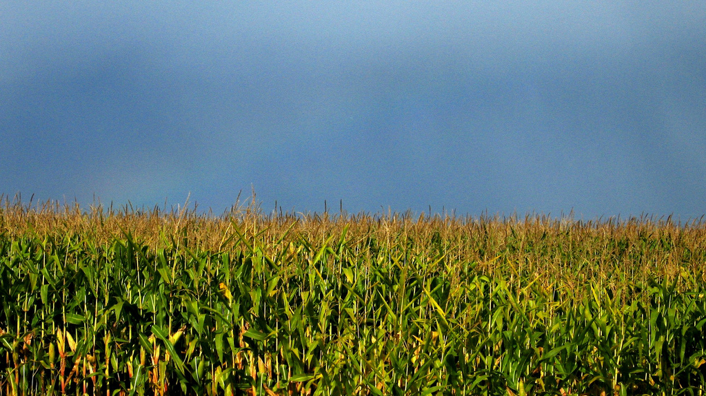 corn field. The USDA is rolling out new rules on the labeling of GMO and bioengineered foods