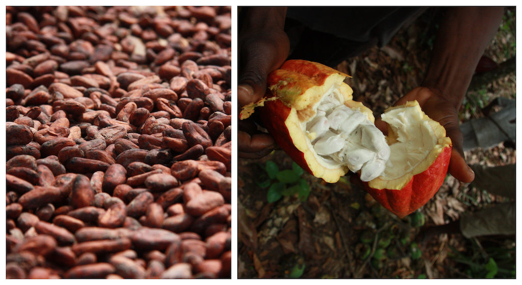Left: Cacao pods drying under the sun. Right: a cacao pod split open. Credit: Barometer Consortium, October 2018