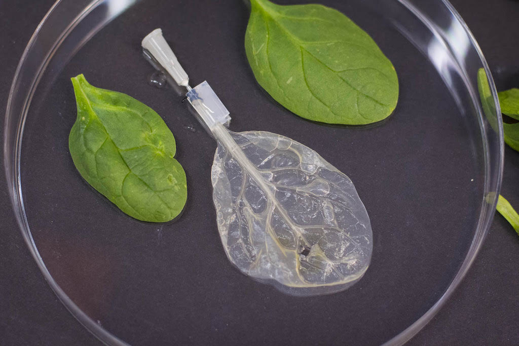 Researchers are decellularizing spinach and other produce with the hopes of filling their structure with animal cells to make a new kind of cultured meat. Credit: Worcester Polytechnic Institute, July 2018