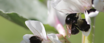 Domesticated plants may be less nutritious and healthful to pollinators like bees. Credit: Emily Bailes, October 2018