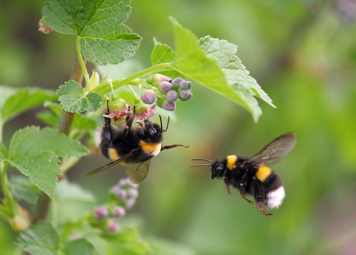 A dearth of research on native bees will come back to sting us. Credit: iStock / worklater1, December 2018