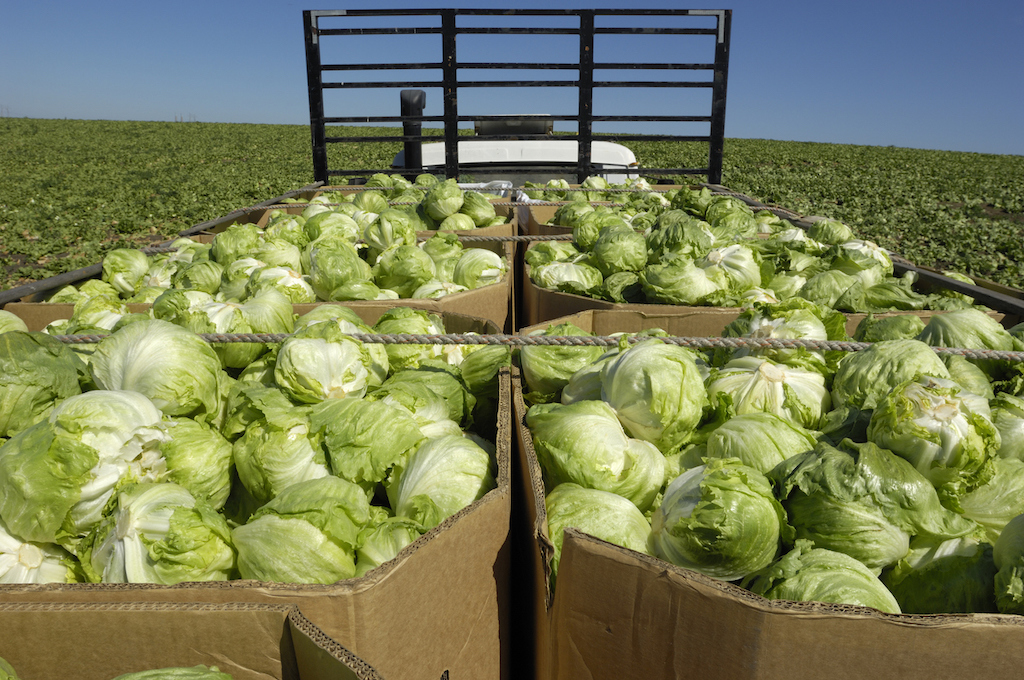 Freshly harvested iceberg lettuce, in cardboard containers, loaded on the back of a produce truck ready for delivery to cold storage facility.