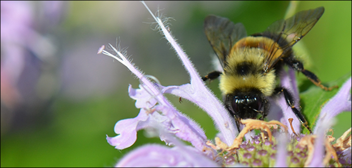 Bumble bee pollinating a flower.