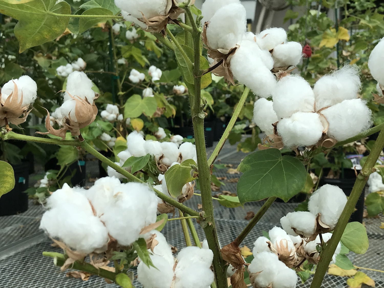 Cotton bulbs