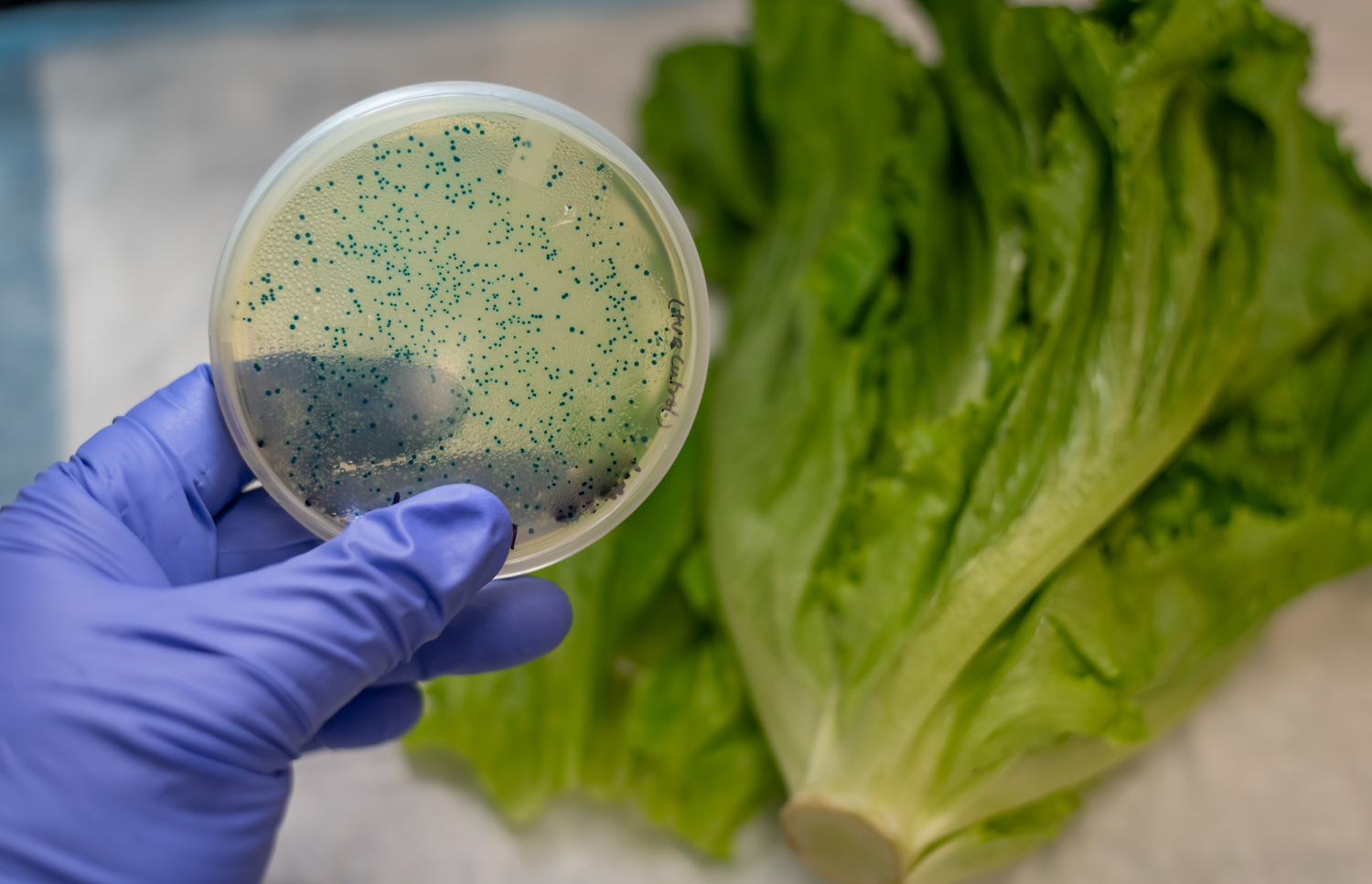 E coli contamination in romaine lettuce