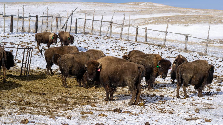 bison Bamm Brewer ranch