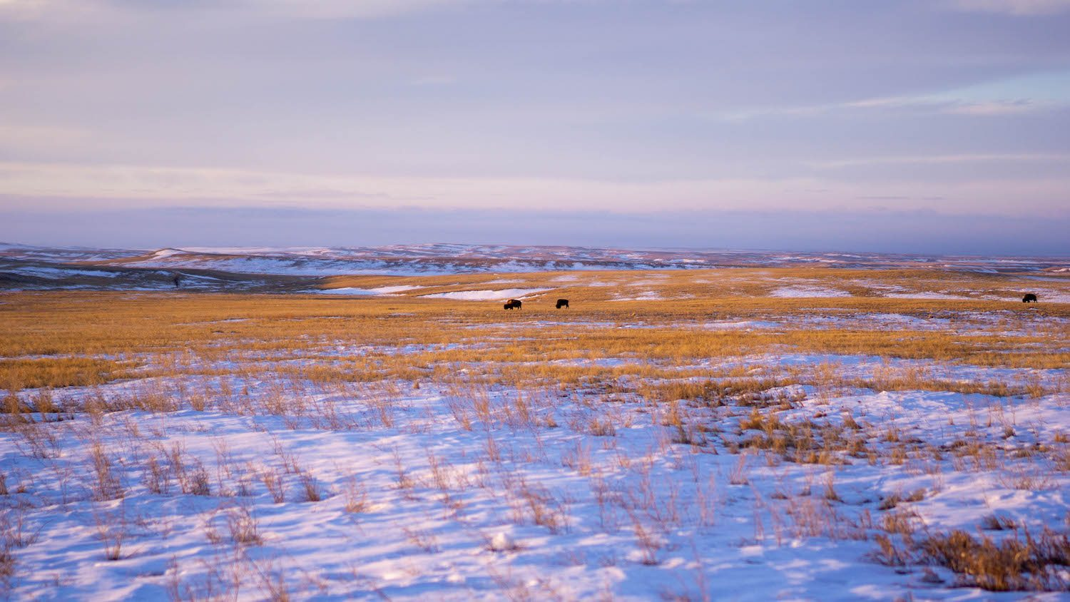 Bison graze grasslands