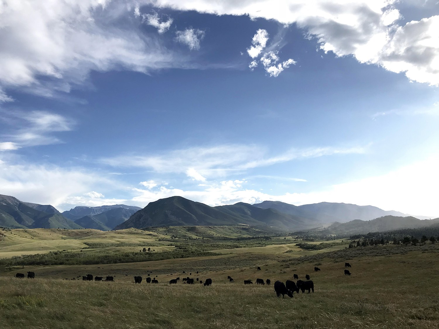 Overlooking a field of cattle in Roscoe, Montana
