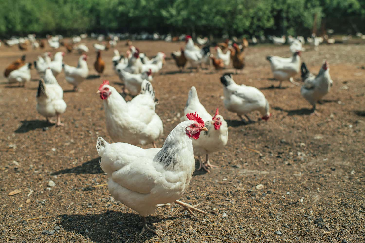 Group of white chickens on a poultry far. (May 2020)