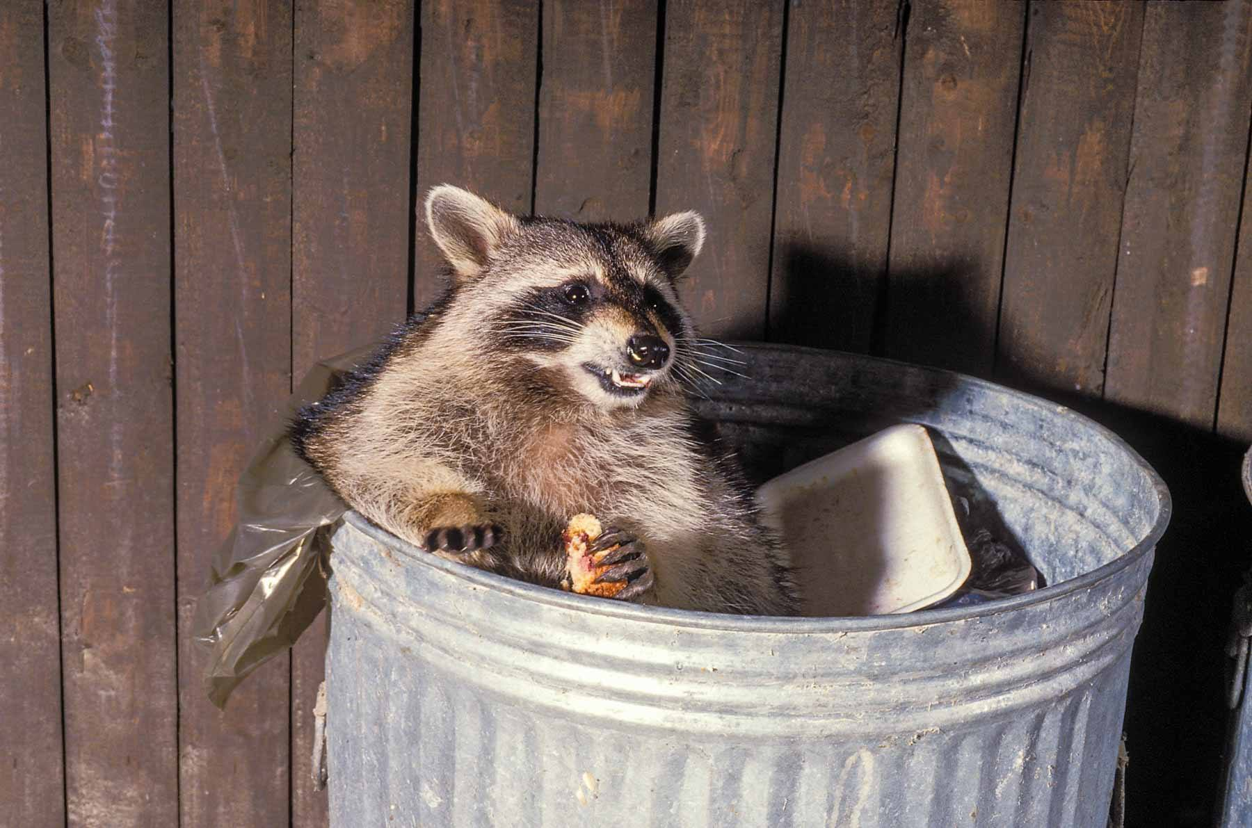 Racoons become a metaphor for eating well during Covid-19 depression (May 2020)
