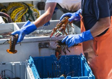 Two lobster fishermen in blue gloves sort freshly caught lobster into bins.