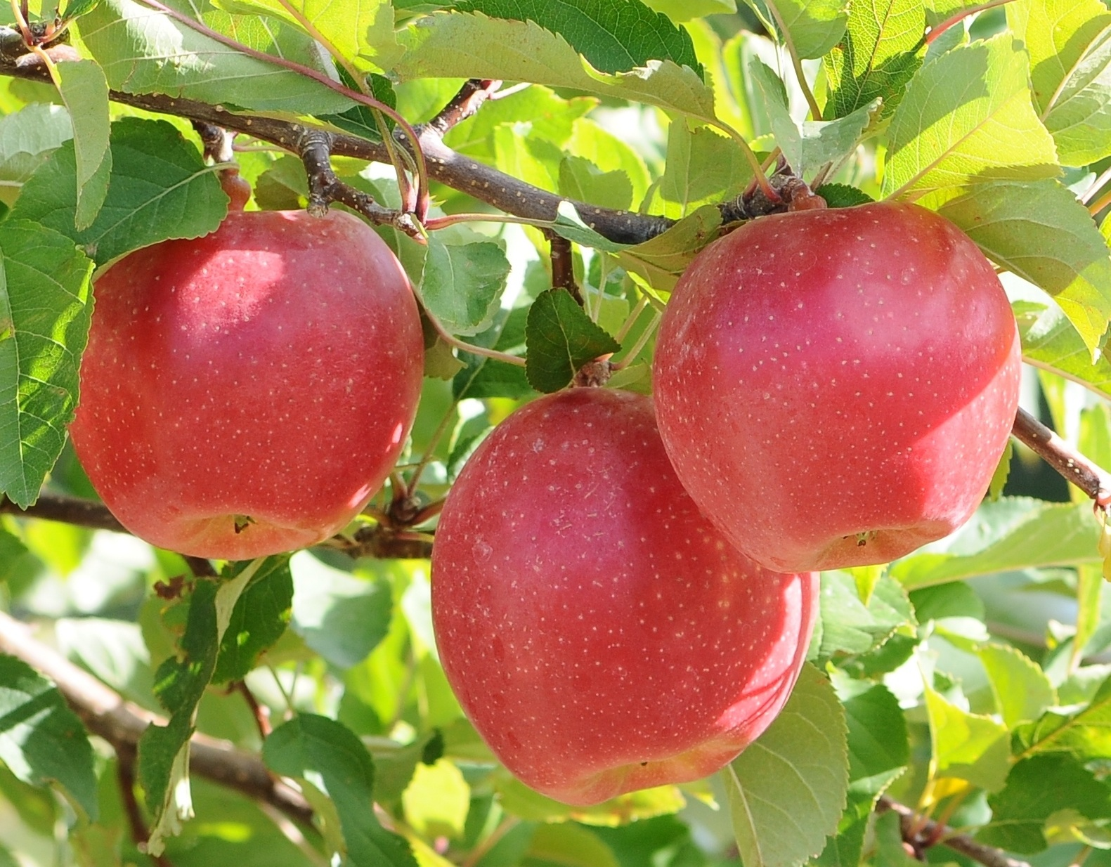 the apple variety trademarked Sunrise Magic that came out Kate Evan's program at WSU July 2020