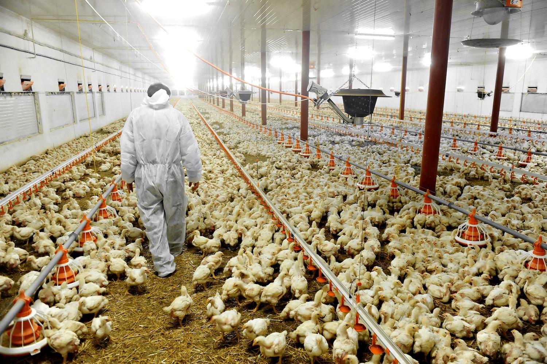 A veterinarian walks inside a poultry farm. September 2020
