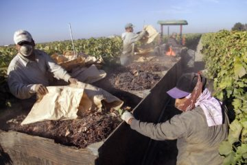 In this Sept. 24, 2013 file photo taken near Fresno, Calif., farmworkers pick paper trays of dried raisins off the ground and heap them onto a trailer in the final step of raisin harvest.