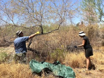 Kelly Athena and Jackson Richards plucking mesquite in Tempe, Arizona. September 2020