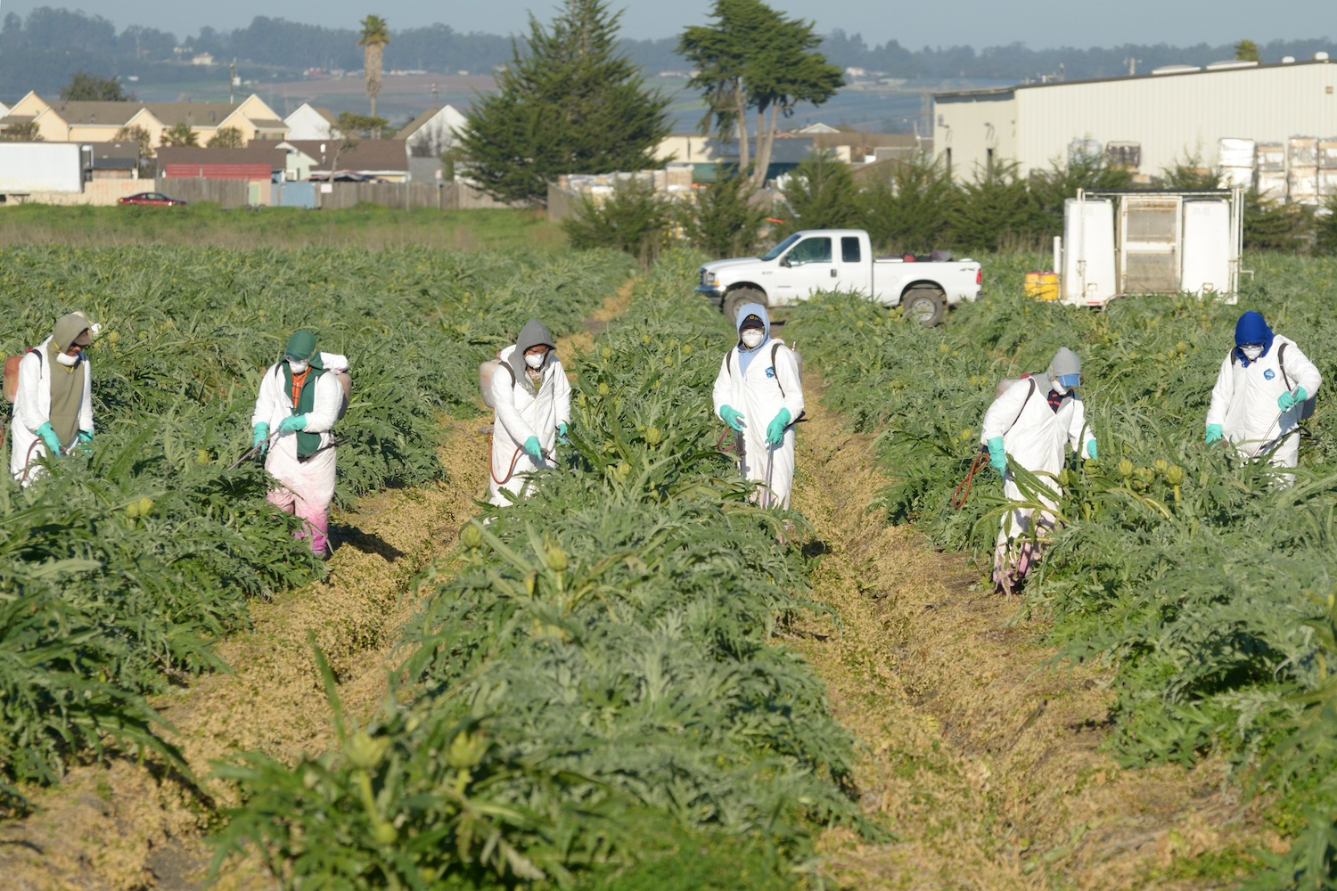 Farmworkers wear protective gear while spraying pesticides throughout a field of artichokes. February 2021