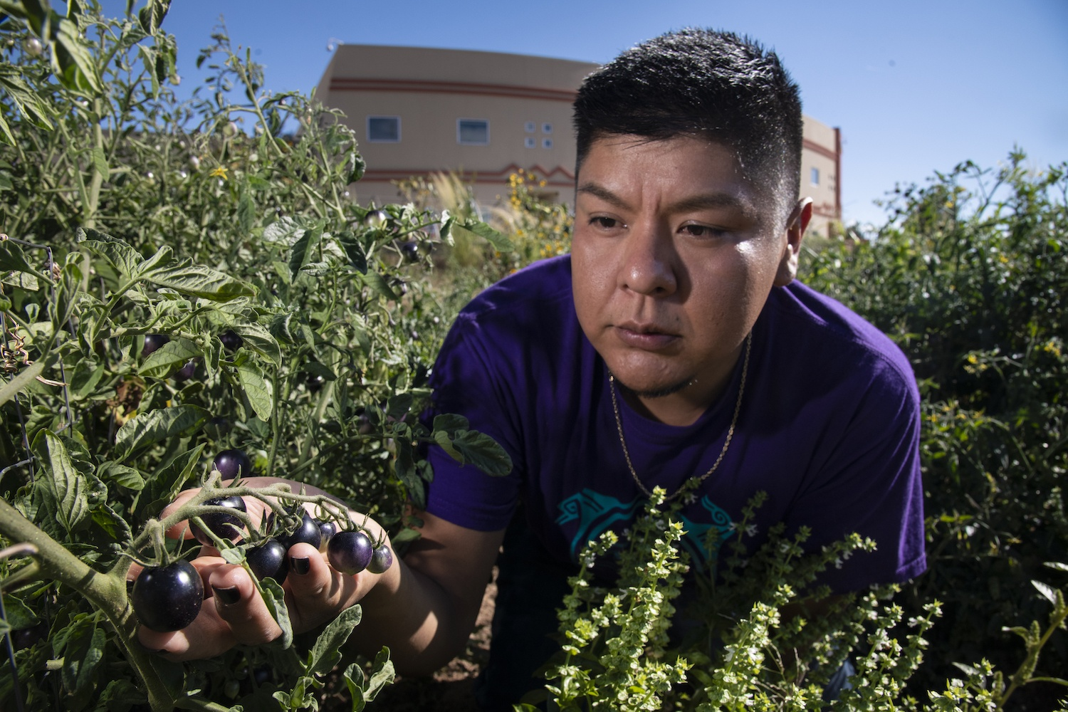 While white co-founders shill their food startup ideas in the pages of glossy magazines, Native producers and entrepreneurs struggle to attract basic press interest and investment. Left, Institute of American Indian Arts (IAIA) research assistant Kyle Kootswaytewa checks on the health of black tomatoes in the IAIA Demonstration Garden, in Santa Fe, NM, on Sept. 11, 2019.
