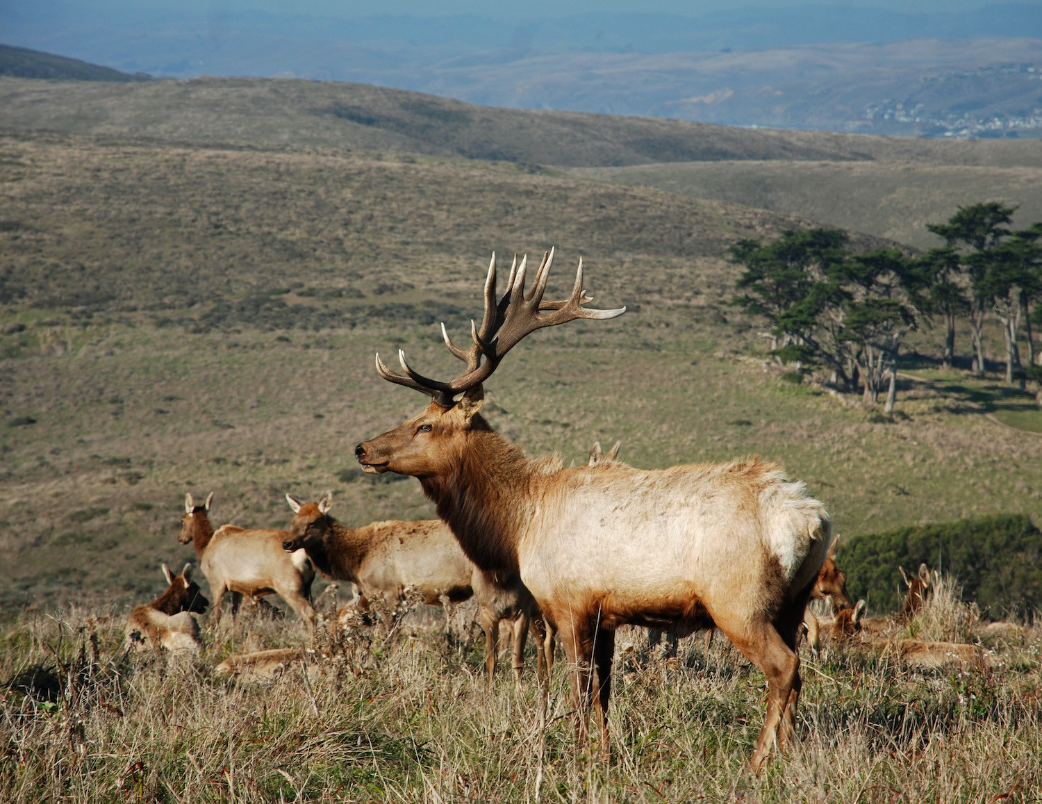An elk bull at Point Reyes in California. May 2021