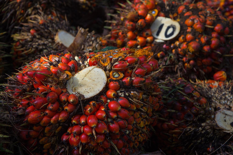 Palm Oil Fruit Bunch. One of the many large palm oil plantations near Binjai. Sumatra 09/2014