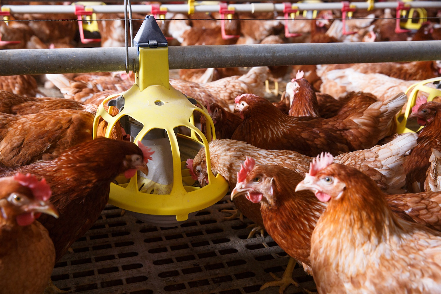 Brown farm chicken in a barn, eating from an automatic feeder. September 2021