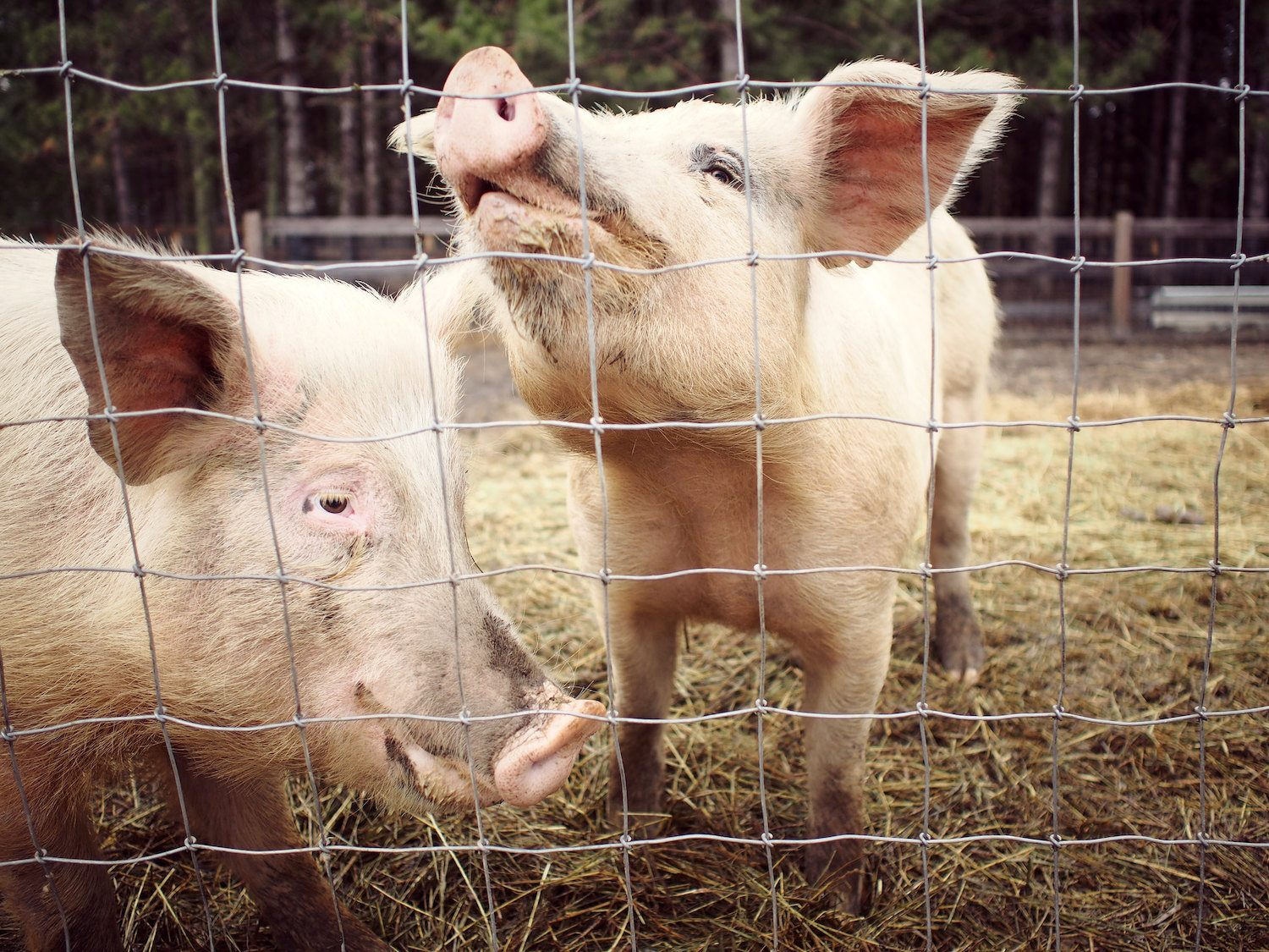 Two pink pigs behind fence in hay. Sept 2021